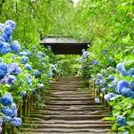 青にピンク!色鮮やかな紫陽花のパワーで梅雨も美しくのりきろう