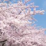 花見シーズンもあと少し!花見シチュエーション別の美容対策