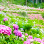自粛疲れ回復!梅雨の紫陽花から得られるカラーセラピー効果